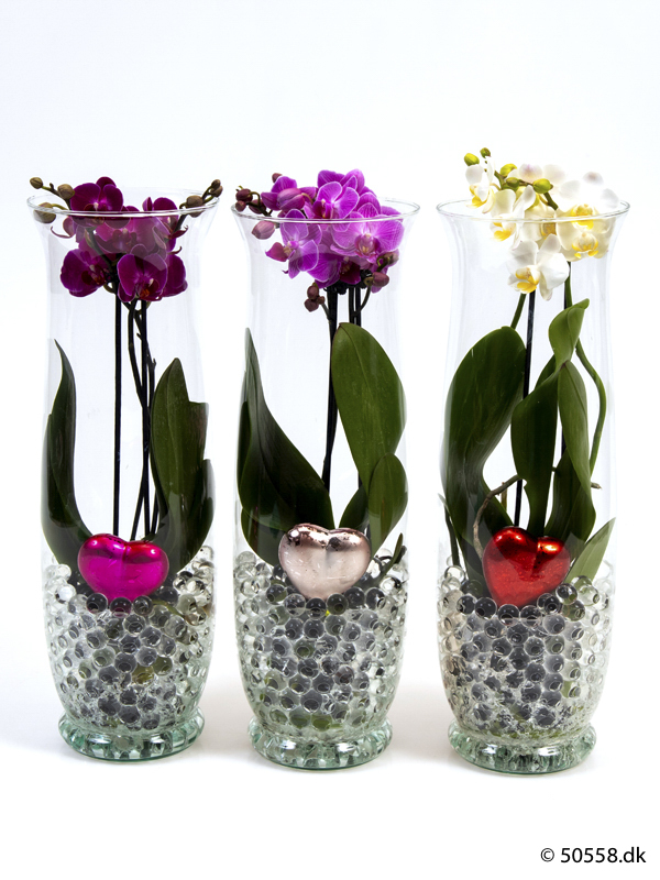 PHALAENOPSIS IN GLASS 'HEARTS'
