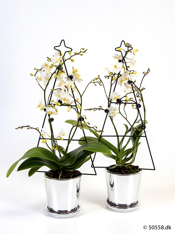 PHALAENOPSIS 'CHRISTMASTREE'