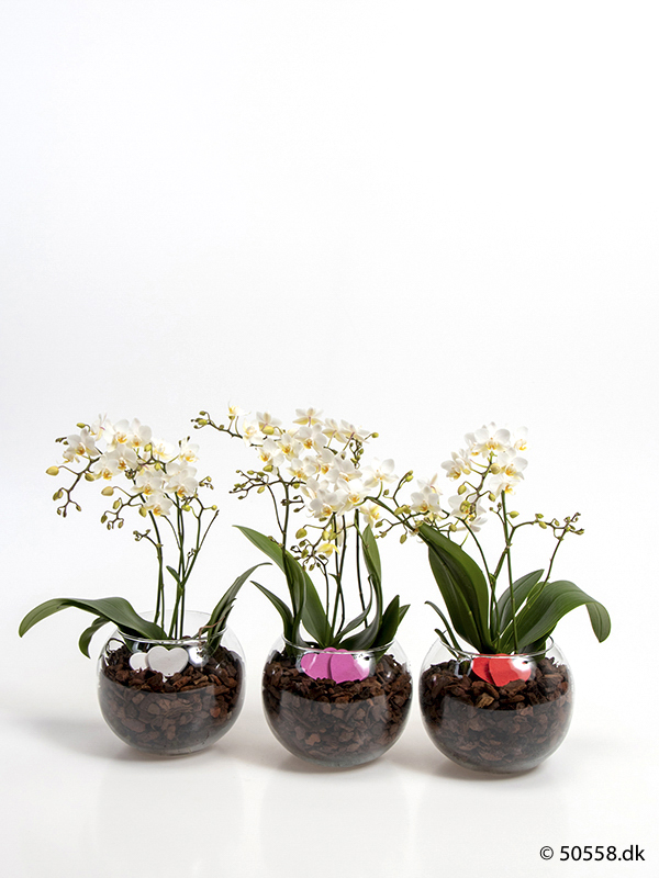 PHALAENOPSIS IN GLASSBOWL