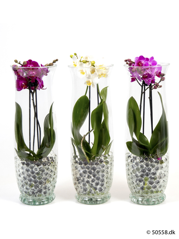 PHALAENOPSIS IN GLASS