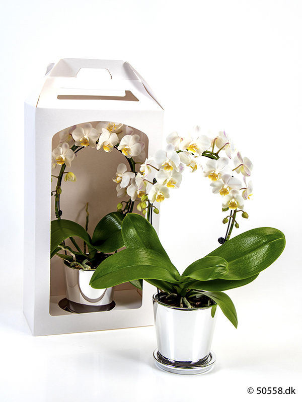 PHALAENOPSIS IN GIFTBOX